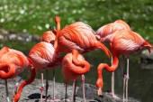 Beautiful pink flamingoes. — Stock Photo