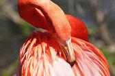 Beautiful pink flamingo. — Stock Photo