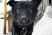 Muzzle of a black dog — Stock Photo