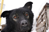 Muzzle of a black dog — Stock Photo