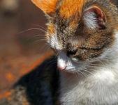 Chat blanc-Auburn ressemble côté — Photo