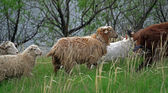 Sheep grazing in the meadow — Stock Photo