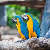Couple macaw — Stock Photo