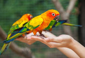 Feeding Colorful parrots — Stock Photo