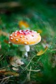 Poisonous amanita, close-up — Stock Photo