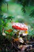 Poisonous amanita, close-up — Foto de Stock