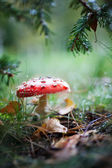 Poisonous amanita, close-up — Stock fotografie