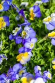 Bright Panola pansy — Foto Stock