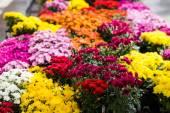 Flowering mums — Stock Photo