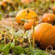 Pumpkin patch — Stock Photo #54437025