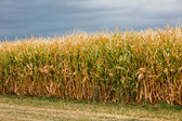 Corn maze — Stock Photo