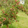 Apple farm — Stock Photo #55506241