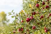 Apple farm — Stock Photo