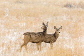 Deers at wildlife refuge area — Stock Photo