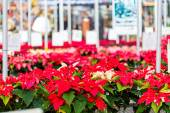 Poinsettia flowers at market — Stock Photo