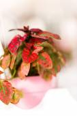 Small red house plant — Stock Photo