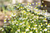 Blooming wild daisy — Stock Photo