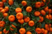 Oranges fruits at tangerine trees — Stock Photo