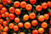 Oranges fruits at tangerine trees — ストック写真