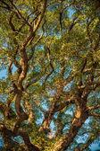 Ancient banyan canopy — Stock Photo