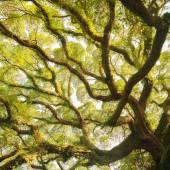 Ancient banyan canopy — Foto de Stock