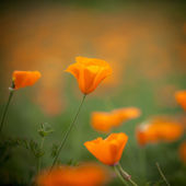 Orange california poppy in the sun with space for your design — Stock Photo