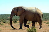 Elefante selvagem africano — Fotografia Stock