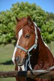 Pony portret — Stockfoto