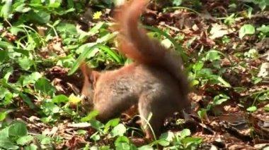 Cute squirrel — Stock Video