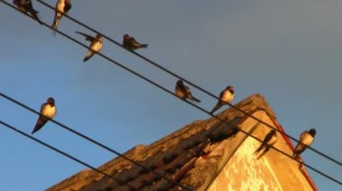 Swallows sitting on wires in a group — Stock Video