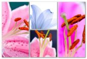 Lily flowers collage — Stock Photo