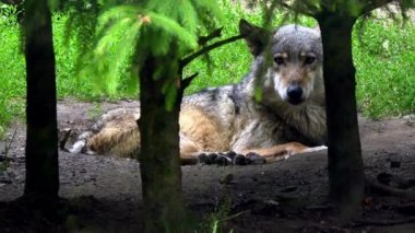 European wolf in forest — Stock Video