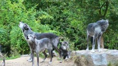 Волк — Стоковое видео