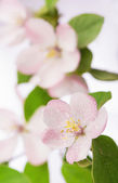 Apple tree blossoms — Photo