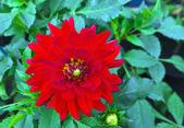 Red dahlia. — Stock Photo
