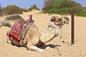 Resting camel in the sand. — Stock Photo