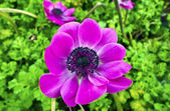 Purple anemone flower. — Stock Photo
