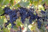 Merlot grapes — Stock Photo