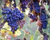 Merlot grapes on the vine — Stock Photo