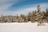 Snow-covered pine forest — Stock Photo