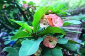 Balinese flower — Stock Photo