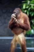 Молодой орангутан — Стоковое фото