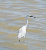White heron — ストック写真