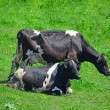 Close up of black and white cows — Stock Photo #70390081