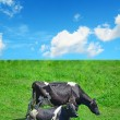 Close up of black and white cows in a green field — Stock Photo #70390155