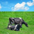 Close up of black and white cows in a green field — Stock Photo #70390207
