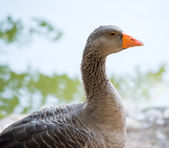Close up of a gray duck — Stock Photo