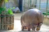 Hippopotamus seen from behind in a zoo — Stock Photo