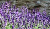 Lavender flowers on mountainside — Stock Photo