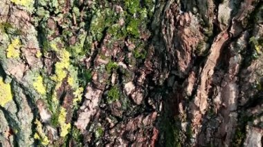 Oldness bark  texture — Stock Video